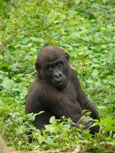 Gorilla in National Park in Congo