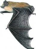 pipistrello4