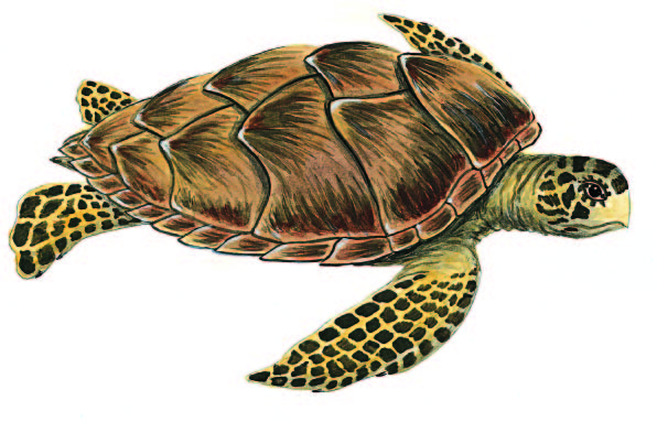 Le tartarughe marine il portale dei bambini for Vasche per tartarughe marine