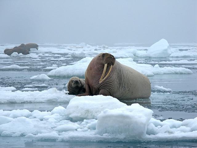trichechi sul ghiaccio